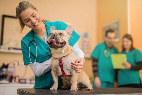 Veterinary Assistant assessing a French Bulldog